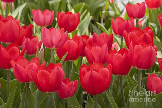 Jill Lang - Red Tulips