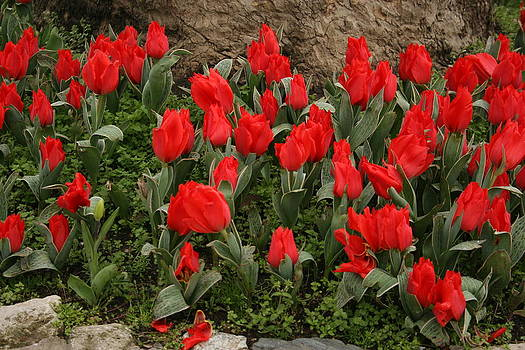 Red Tulips by Maeve O Connell