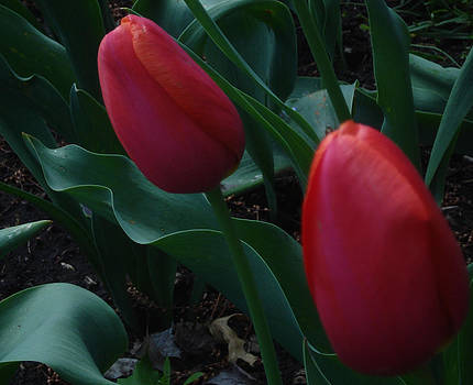 Red Tulips - Two Together by Jessica Gale
