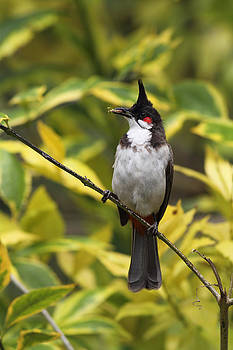 Red Whiskered Bulbul by Alex Sukonkin