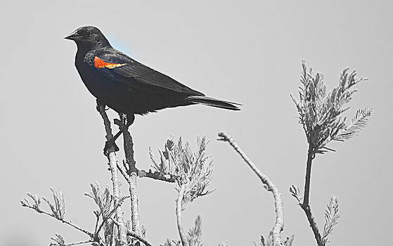 Red Wing Blackbird by AJ  Schibig