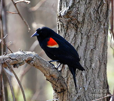Linda Rae Cuthbertson - Red Winged Black Bird