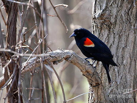 Linda Rae Cuthbertson - Red Winged Blackbird 1