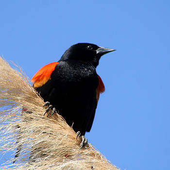 Red-Winged Blackbird by Bob and Jan Shriner