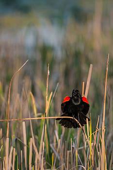 onyonet  photo studios - Red-winged Blackbird Displaying