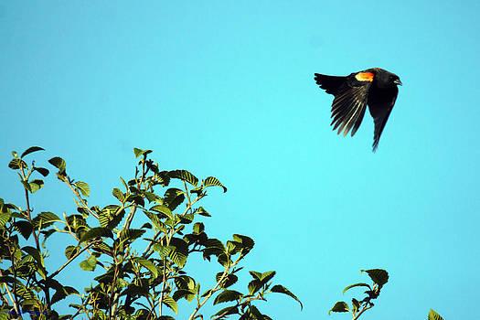 Red-winged Blackbird In Flight by Ed Nicholles