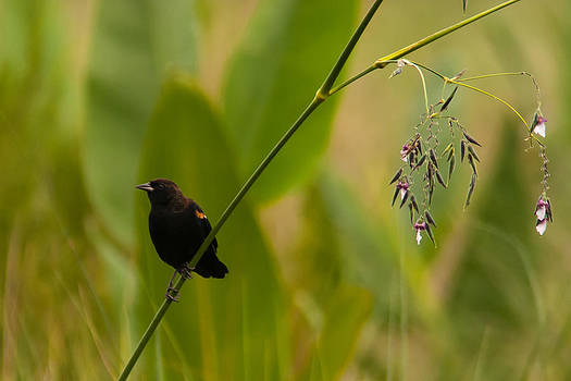 Paul Rebmann - Red-winged Blackbird on Alligator Flag