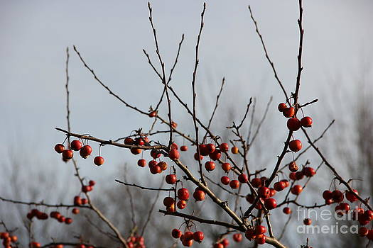 Red winter berries  by Jackie Mestrom