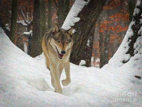 Red Wolf on a Winter Hunt by Lianne Schneider
