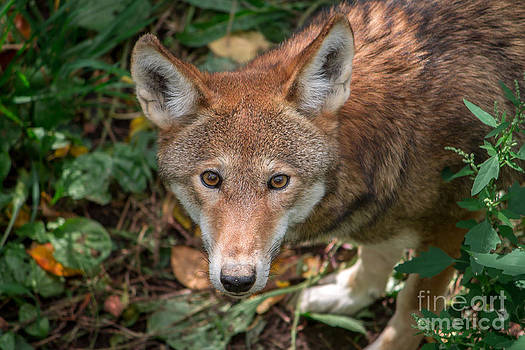 Red Wolf by Rebecca Brooks