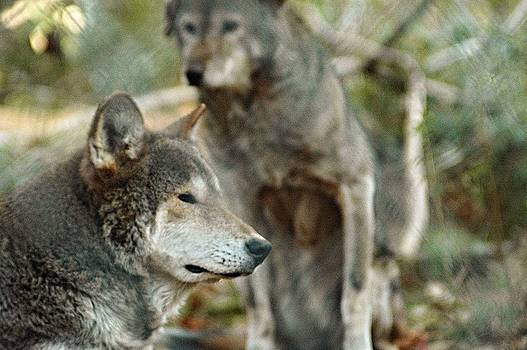 Red Wolves by Dawn Younce