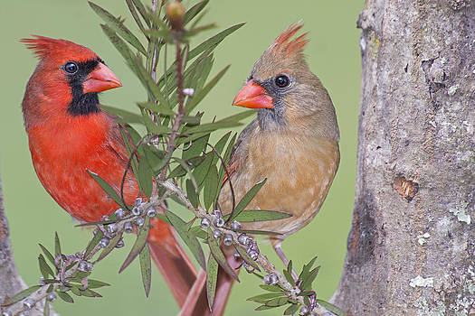 Redbirds Face to Face by Bonnie Barry