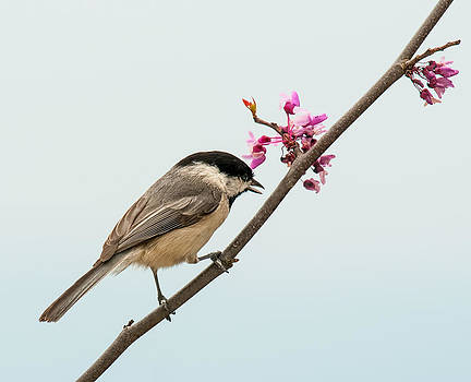 Lara Ellis - Redbud and Chickadee