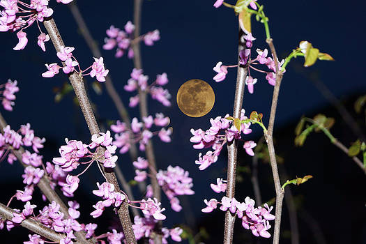 Redbud Moon by Tina Stoffel