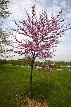 Redbud Tree by John Holloway