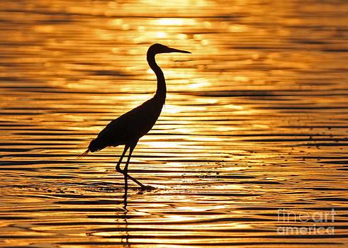 Reddish Egret at Sunset by Jennifer Zelik