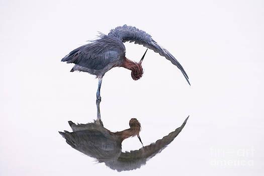 Marie Read - Reddish Egret