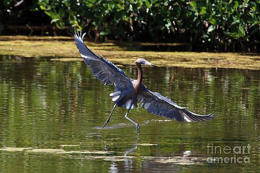 Reddish Egret Solo Dancer by John Rowe