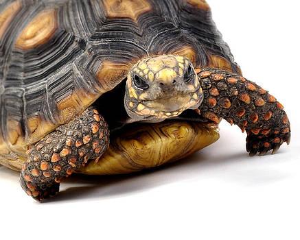 Rebecca Brittain - Redfoot Tortoise Cutie