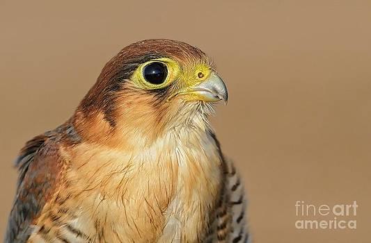 Redneck Falcon by Raj Dhage