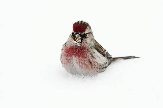Redpoll in snow by Alex Sukonkin