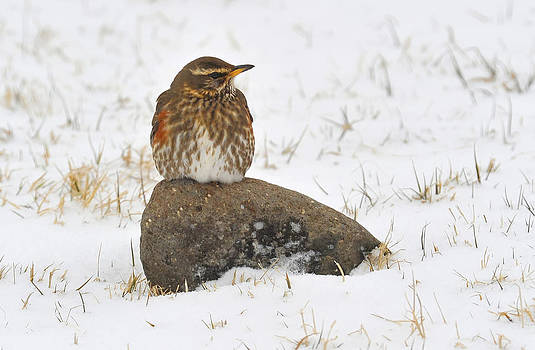 Redwing  by Sigurdur Aegisson
