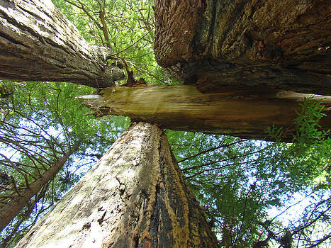 Baslee Troutman - Redwoods Forest Art Prints Canvas Framed Redwood Trees