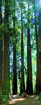 Redwoods by Kenneth Hadlock