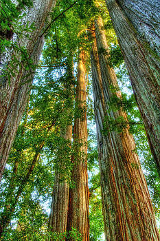 Redwoods by Lisa Chorny