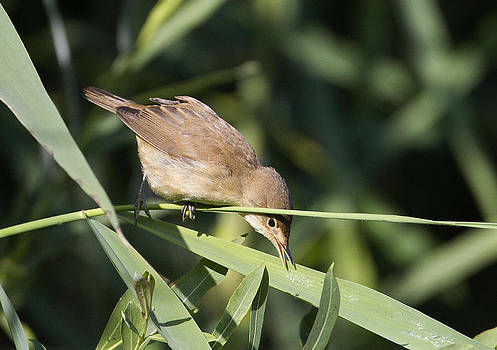 Reed Warbler feeding by Bob Kemp