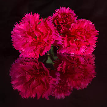 Reflected Carnations by Pete Hemington