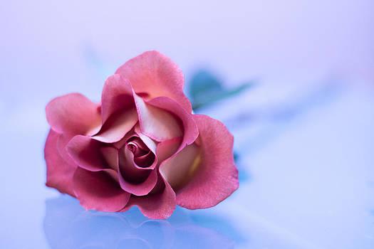 Elvira Pinkhas - Reflected Rose