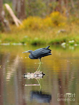 Reflecting Little Blue Heron by Andre Turner
