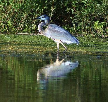 Rosemarie E Seppala - Reflective Blue Heron