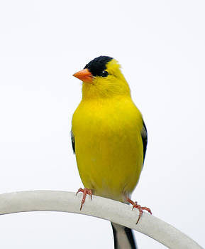 Lara Ellis - Regal American Gold Finch