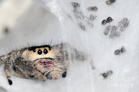 Scott Linstead - Regal Jumping Spiderlings And Mother
