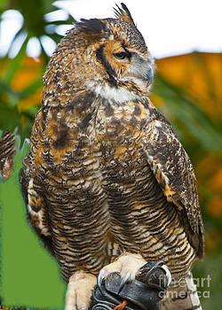 Rehabbing Owl by Fred L Gardner