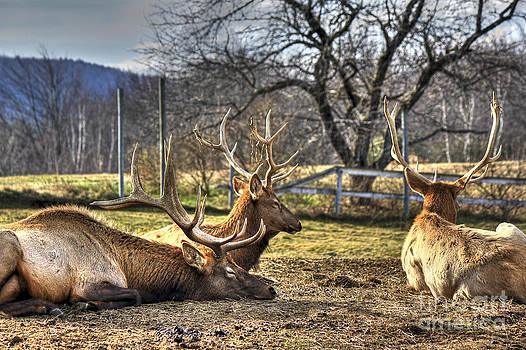 Brenda Giasson - Reindeer Rest