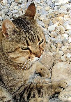 Tracey Harrington-Simpson - Relaxed Tabby Cat Against Stones and Pebbles