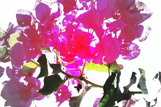 Remember My Big And Beautiful Bouganvillea by Hilde Widerberg