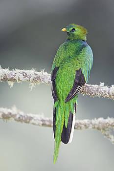 Resplendent Quetzal by Thomas Chamberlin