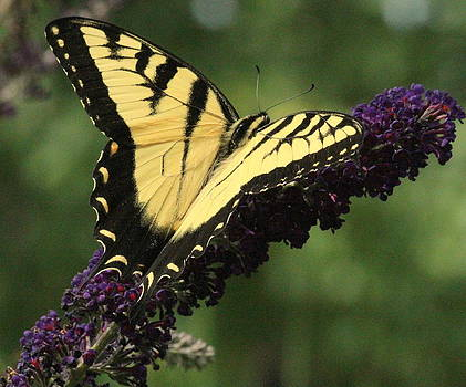 Rosanne Jordan - Rest Easy Swallowtail