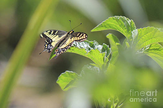 Resting butterfly by Angelina W