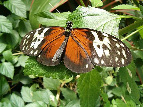 Resting Butterfly by John Arthur Robinson