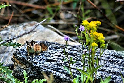 Resting Chipmunk  by Rebecca Adams