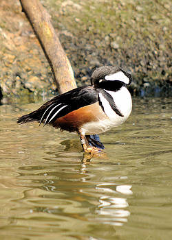 Resting Drake Hooded Merganser by James Lewis