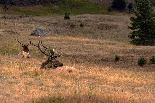 Julie Magers Soulen - Resting Elk at Sundown