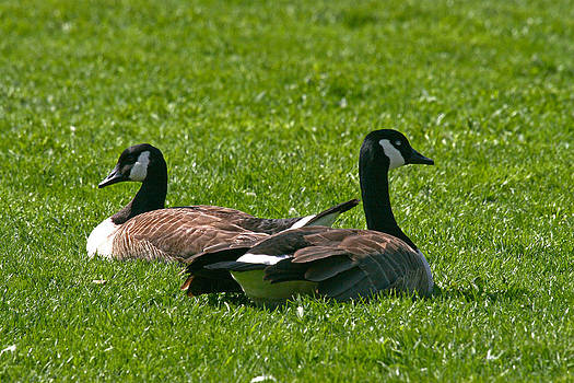Resting Geese by John Holloway