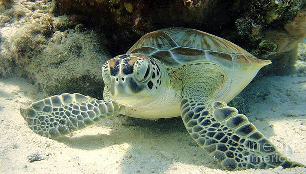 Resting Green Sea Turtle by Isabelle Kuehn