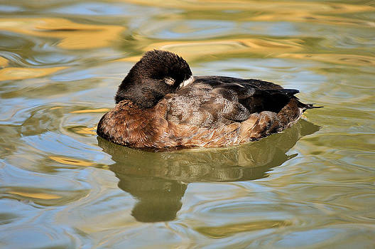 Resting Hen Scaup by James Lewis